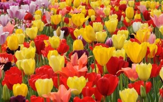 flowers-pictures-tulip-colored-field-wallpapers-multi-flower-blooming-beautiful-wonderful